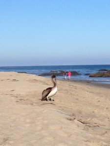 It's a happy day when you meet up with a California Brown Pelican on a beach in Malibu, California