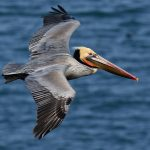 A close-up photo of California Brown Pelican in flight