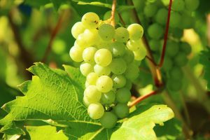 Sancerre grapes close to harvest