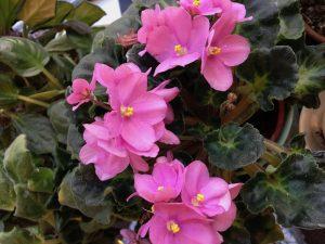 Mother's African Violets in Bloom