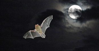 Most bats fly at night
