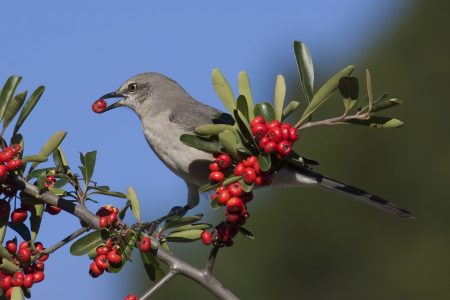 Northern Mockingbird in pyracantha
