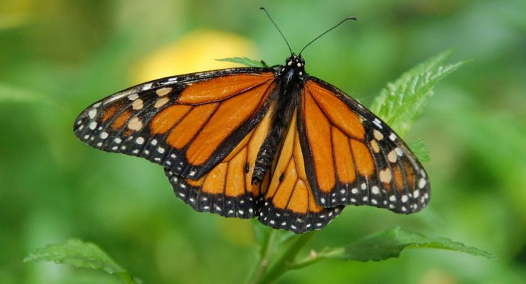 In North America, monarch butterflies make the long journey south each winter, and then migrate northward for the summer. Their numbers are declining, but there are things we can do to help.