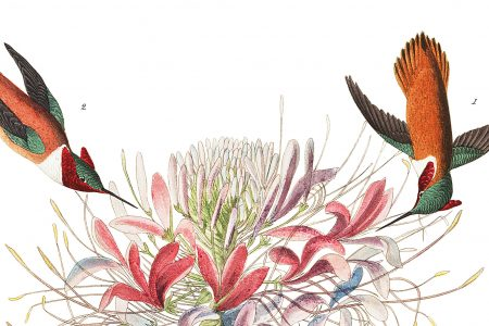 The hummingbird as illustrated in Audubon's Bird of America