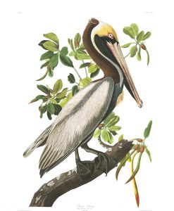 Audubon's The Birds of America includes an illustration of the Brown Pelican