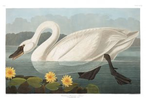 Plate 411 of The Birds of America is John Audubon's illustration of the Common American Swan
