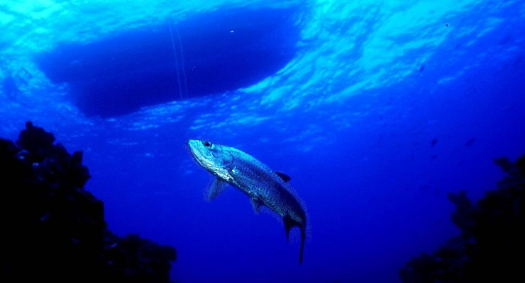Tarpon are considered one of the best saltwater sport fish because of their fight and jumping ability, but they are not a food fish.