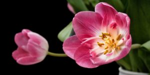 Watch the blooming of Spring flowers close-up in time-lapse video
