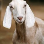 An urban farmer finds joy in raising a couple of goats within her 1,000 square foot garden