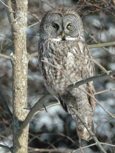 Look for Great Grey Owls and other birds of prey and woodland song birds on Snake Mountain day hikes