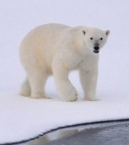 A polar bear's home is on the ice.