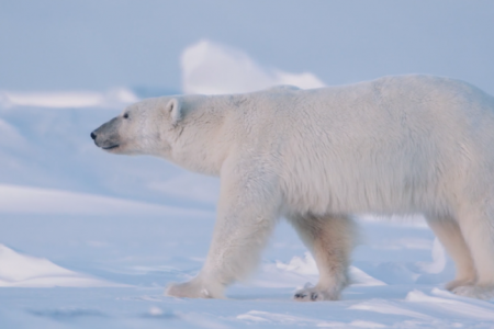 Polar bears face loss of sea ice due to climate change.