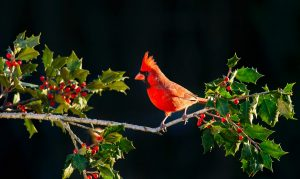 The Christmas Bird Count is going on now, and we've got bird ID help to get you started