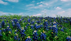 How to find the best bluebonnet viewing in Texas