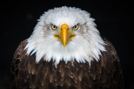 The Bald Eagle was at one time protected by the Endangered Species Act, and was removed from the endangered and threatened list after a successful recovery.