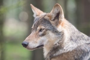The reintroduction of the Gray Wolf into Yellowstone National Park has had beneficial effects on the ecosystem and other species.