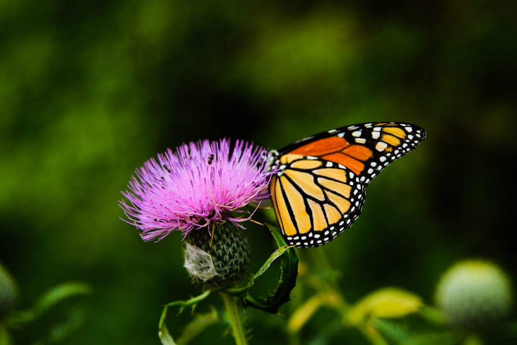 Monarch travel many miles in migration, and there are things each of us can do to help monarchs survive the journey