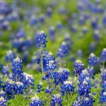 Bluebonnet season in Texas is a celebration of Spring with events, tours and workshops to enjoy.